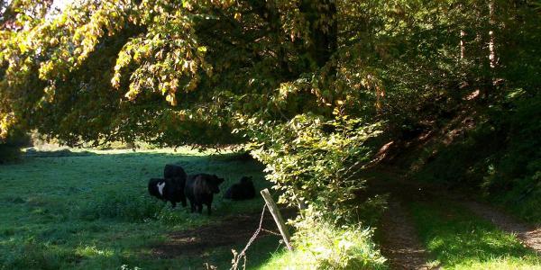Galloways im Waldbachtal