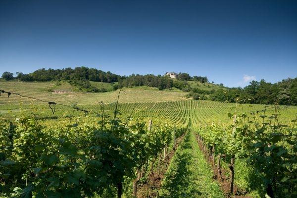 Weinberg des Weinguts Vollmayer, Hilzingen
