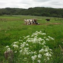 Viehweide in der Nähe der Elsenberger Mühle