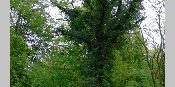 Diesem Baumriesen begegnen wir an einer Weggabelung im Wald nahe Offenbach.