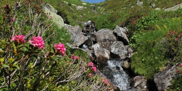 Alpenrosen am Acletta Bach