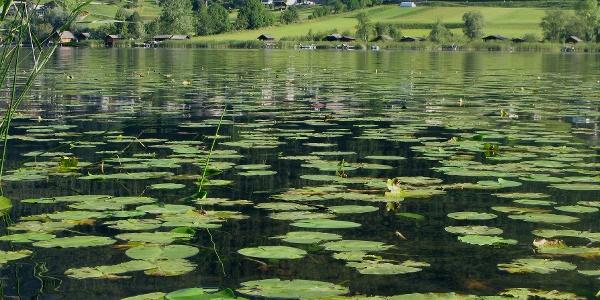 Seerosen am Weißensee
