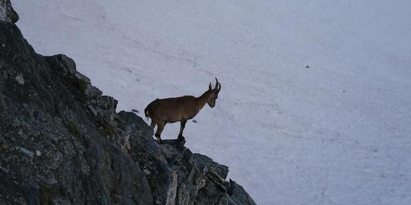Steinbock am Rifugio Guide della Val d´Ayas