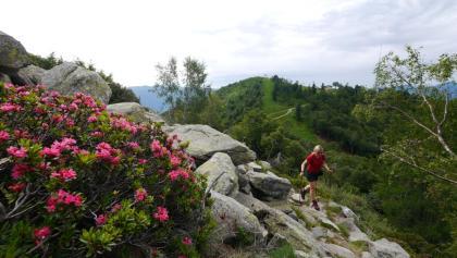 Wandern durch blühende Alpenrosenhänge - im Hintergrund die Cimetta