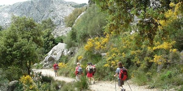 Ginster auf dem Weg zur Barranc de Biniaraix.