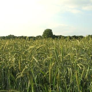 Verschiedene Getreidesorten wie Gerste oder Weizen sind wichtige Bestandteile beim Bierbrauen.