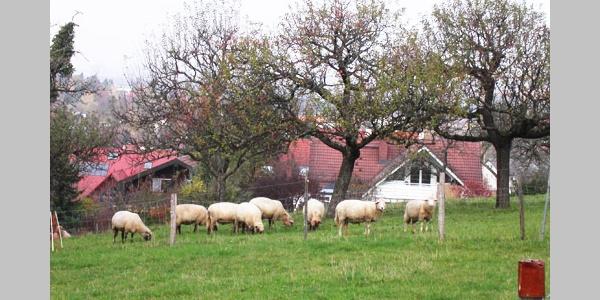 Am Wegesrand: Schafherde kurz vor unserem Ziel in Merzhausen.
