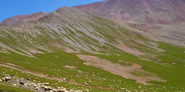 Schafe beim Abstieg vom Ostgrat, um 2800m
