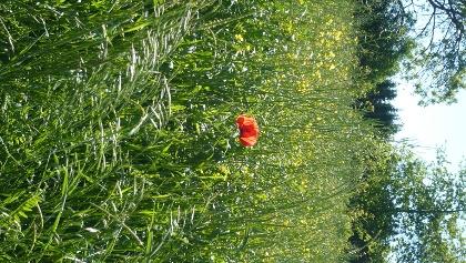 Am Feldrand blüht der Mohn in einem kräftigen Rot.