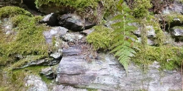 Schiefer-Trockenmauer mit Moos und Farn