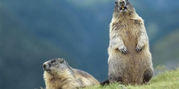 Murmeltiere in Südtirol