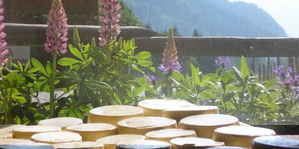 Käseherstellung auf der Alpe Schattwald