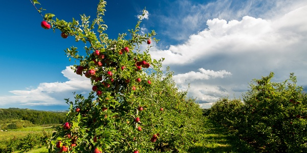 Durch das größte Apfelanbaugebiet Österreichs