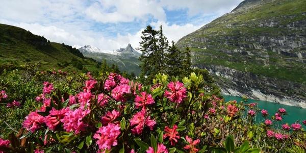 Alpenrosen in Zerfreila; Foto: Robert Bösch