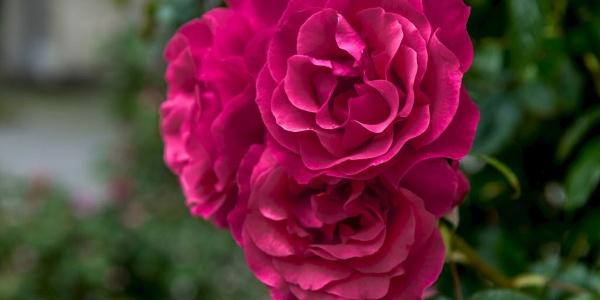 Rosen entlang des Rosen-Wanderwegs