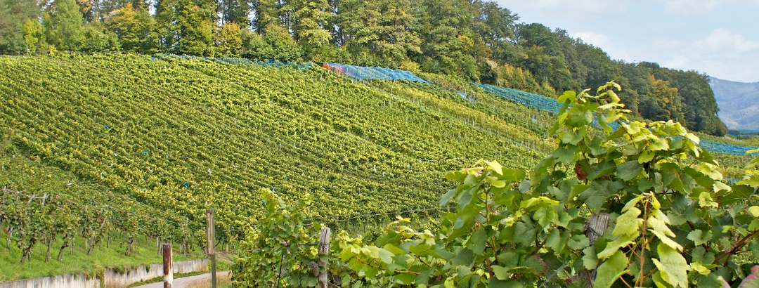 Weinreben im Baselland