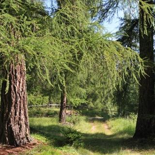Capriana - Larch wood