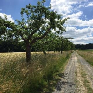 Weg durch die Felder mit Apfelbäumen