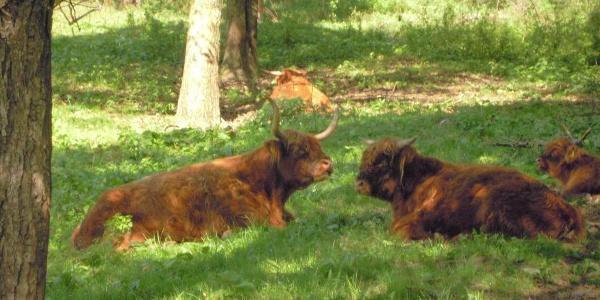 ...vorbei an schottischen Hochlandrindern...