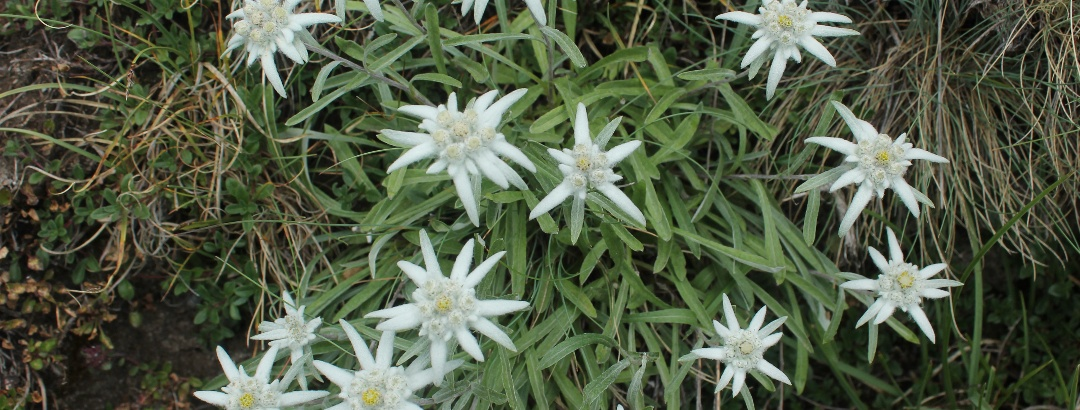Eddelweiss am Passo di Gana Negra