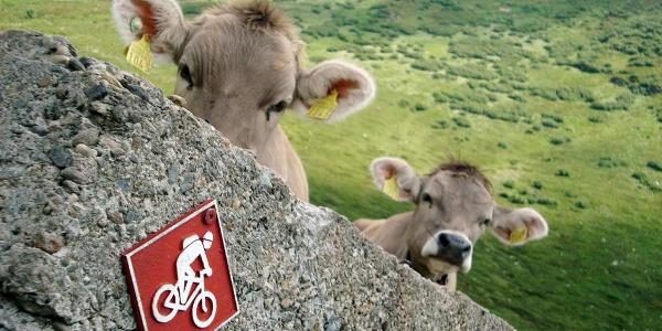 Mucche in Pian Cales, San Bernardino (GR)