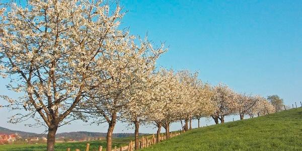 Kirschblüte in Hagen