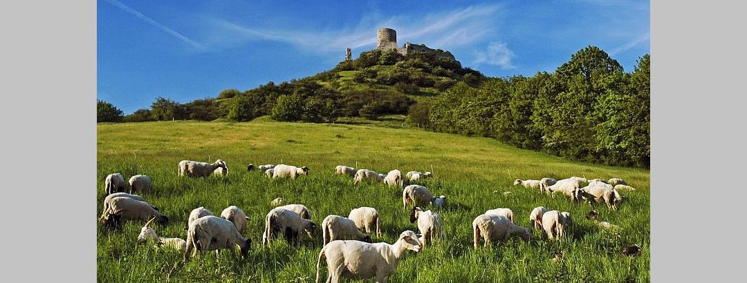 Schafe am Fuße des Desenbergs