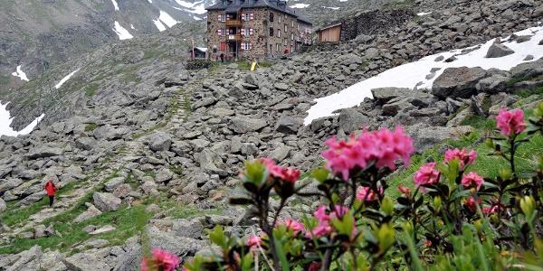 Alpenrosen vor der Nürnberger Hütte