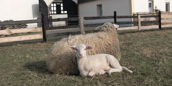 Lindsche Schafe