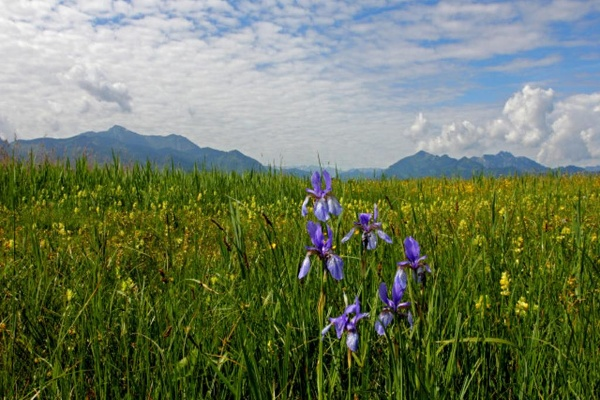 Irisblüte im Grabenstätter Moos