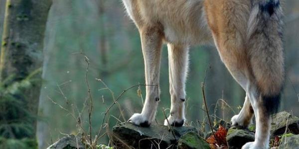 Wolfsheulen