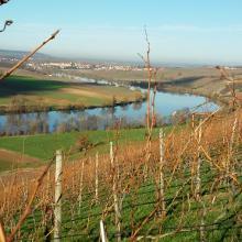 Durch abgeerntete Weinstöcke ein schöner Ausblick auf den Neckar bei Neckarwestheim