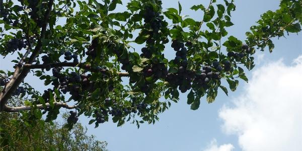 Zwetschkenbaum