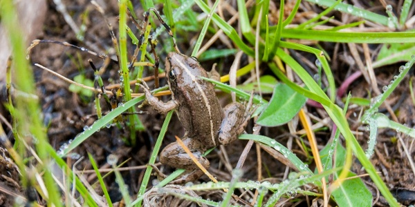 Ein vielleicht endemischer Frosch am Crno Jezero