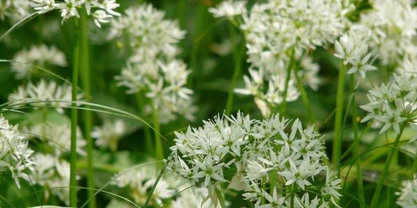 die Bärlauch-Blüte im Detail