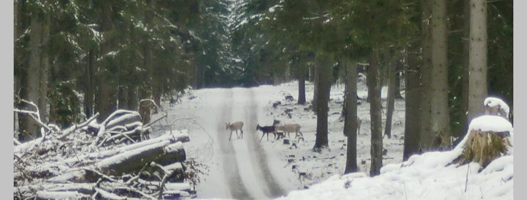 Wildwechsel - weiße und braune Hirsche