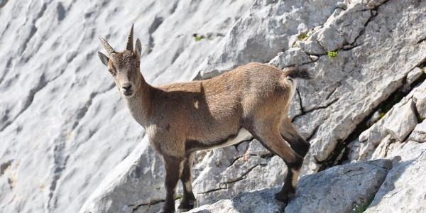 Weider heimisch im Nationalpark Berchtesgaden - Steinböcke beim Aufstieg auf das Hocheck