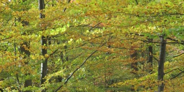 Även på hösten är bokskogarna vackra