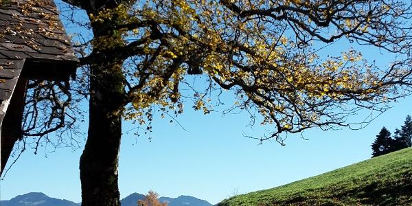 Tannen oberhalb von Alberschwende