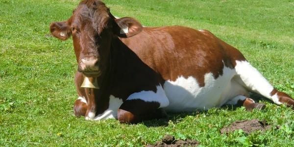 glückliche Rinder auf der Alm