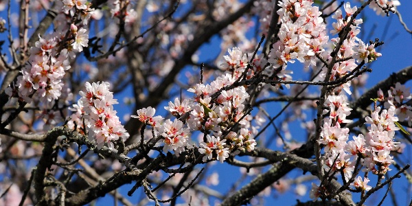 Mandelblüte im Frühjahr
