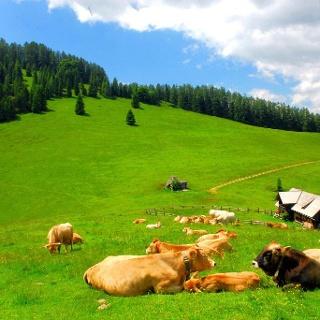 Murbodner Rinder weiden am Blahberg © Nationalpark Kalkalpen Sieghartsleitner