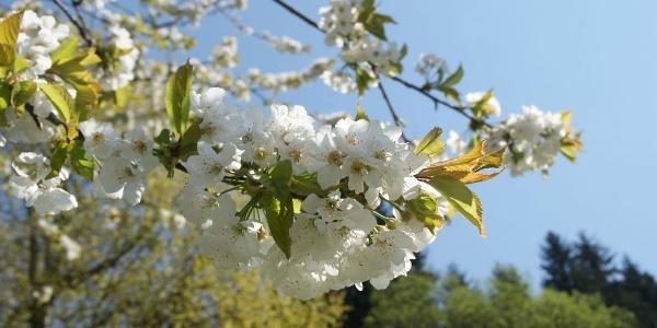 Im Frühjahr kann man die Obstbaumblüte genießen