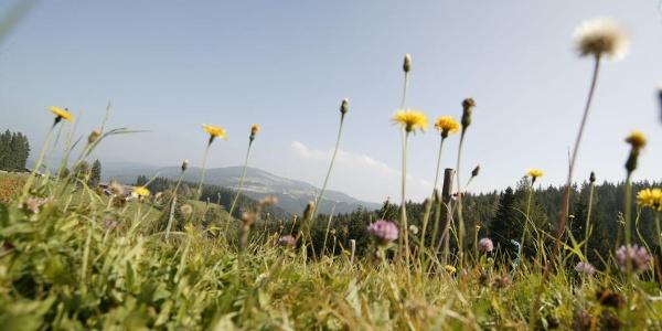 blühende Bergwiesen rund um Fischbach