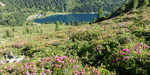 Aufstieg während der Almrosenblüte; unten der Obersee