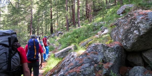 Einfacher Wanderweg durch einen lichten Lärchenwald