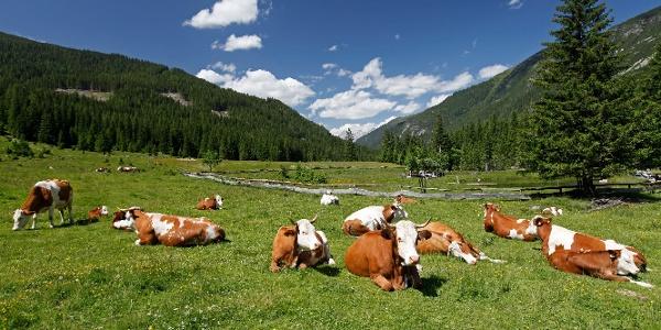 Rinderherde auf der Fallhausalm