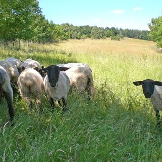 Eiberg - Schafe