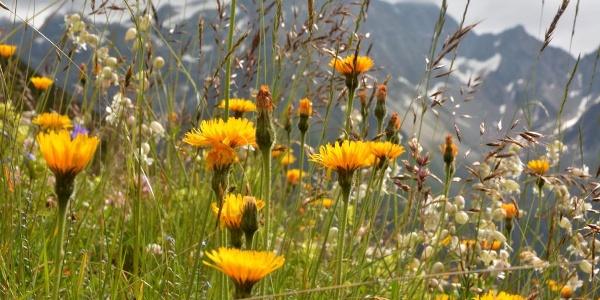 Blumenparadies vor der Plangeroßalm