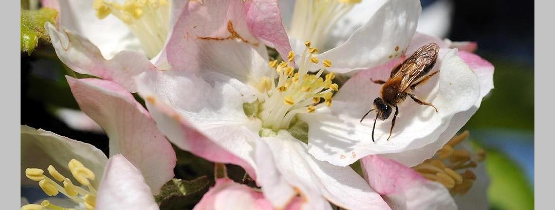 Wildbiene in Blüte